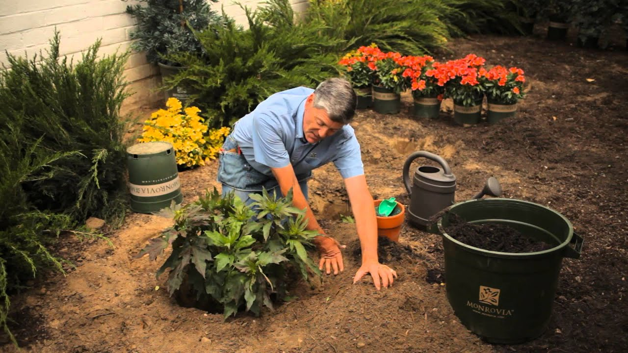 How To Plant Hibiscus In Fall Monrovia