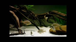 1600 Liter Aquarium mit Diskus, jungen Geophagus und Heros