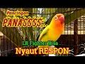 Pancingan Lovebird Fighter Ngetik Ngekek Panjang Memancing Labet Lain Cepat Respon Bunyi  Mp3 - Mp4 Download