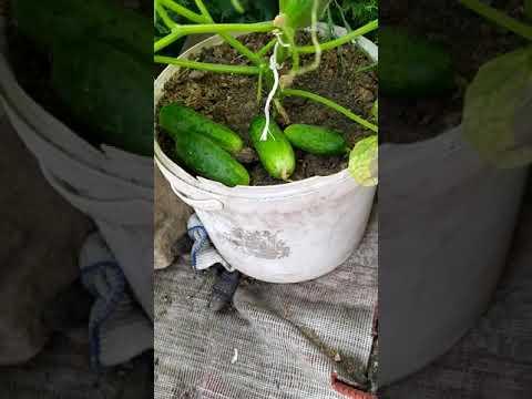 Сбор урожая огурцов Маша f1
