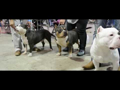 ABKC Dallas Texas Bully Showdown/Stackoff (Mesquite Texas)
