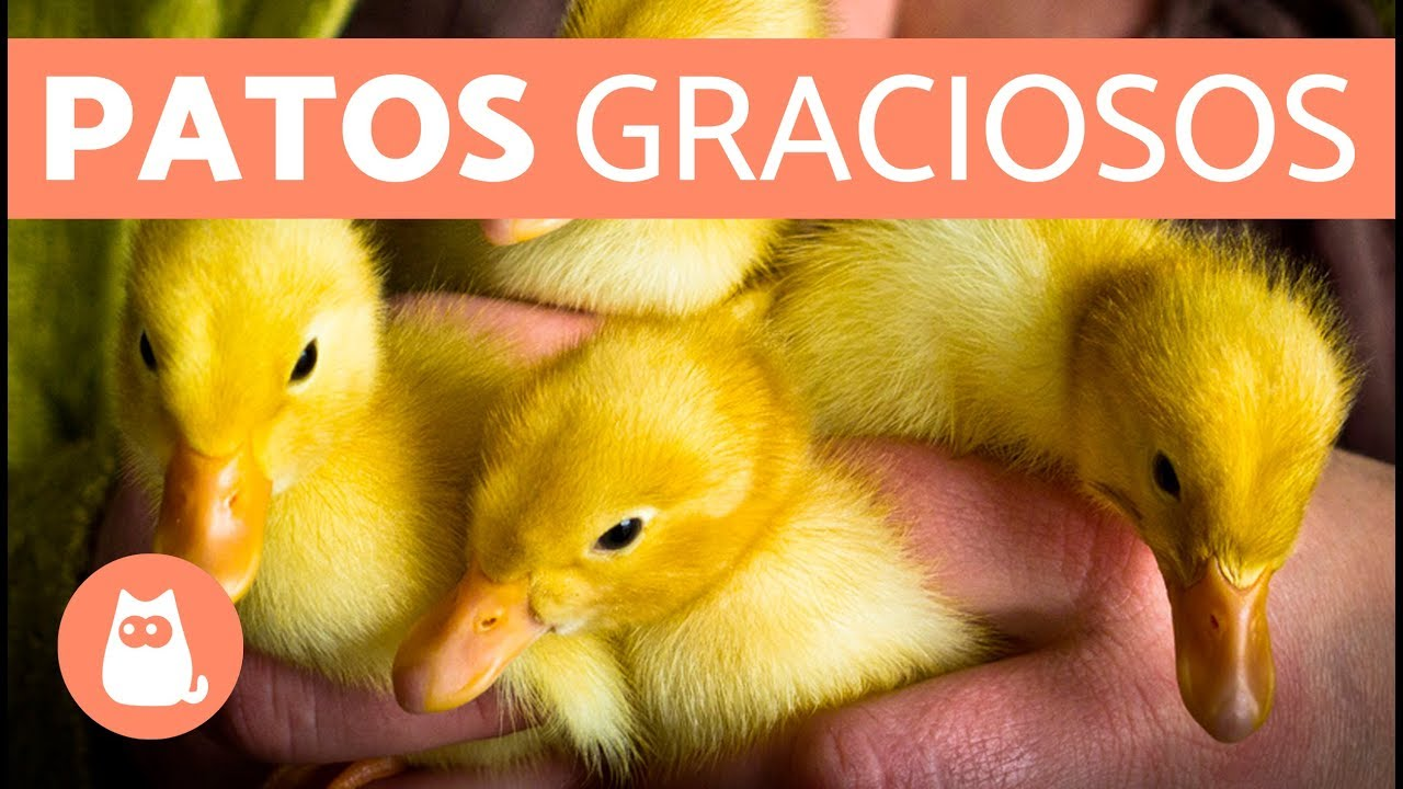 Cute Duckling Reloaded Patos graciosos YouTube
