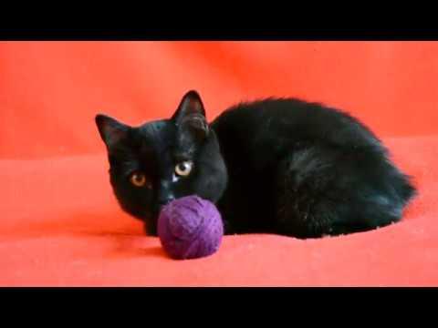 Выпускник Питомника - Обалденный черный шотландский котенок.