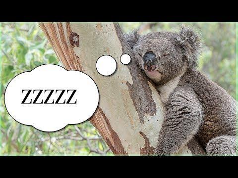 Sleeping Koala!