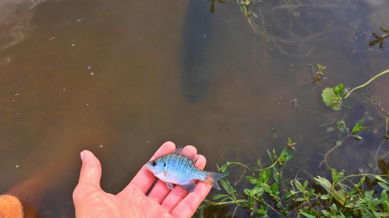 Baby Brim Fish