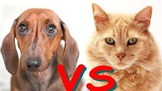 Cats vs Dogs  | who fight with cucumber | fearless dachshund dog or cats