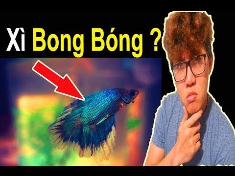 Cá Bị Xì Bong Bóng Và Cách Trị Bệnh 🐠 Ryan Nguyen_The Fish Lover