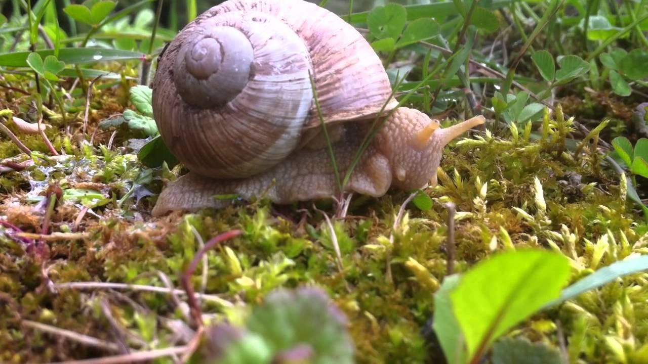 Snail eating a leaf - YouTube