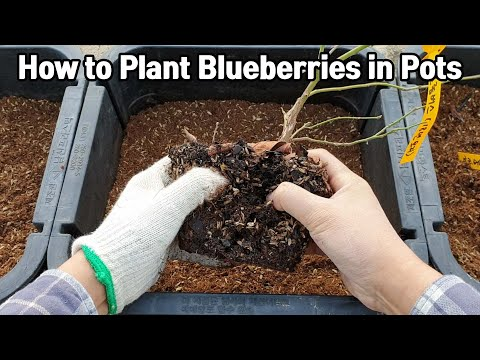 how-to-plant-blueberries-in-pots