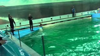 Белухи Михей и Полина (дельфинарий Санкт-Петербург)(, 2015-03-18T17:04:16.000Z)