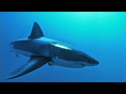 A Shark's Entire Body Is An Ear