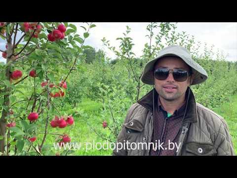 Яблоня сорт ЕЛЕНА. Самый популярный из ранних, сладких сортов яблок в Беларуси.