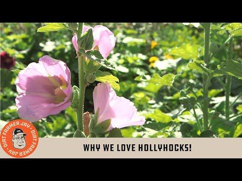 Why We Love Hollyhocks!