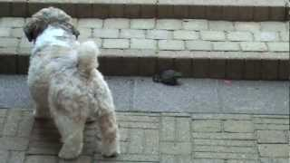 Shih Tzu Tobi Vs Toad First Time & Curious / Toad On The Way Home - Hd