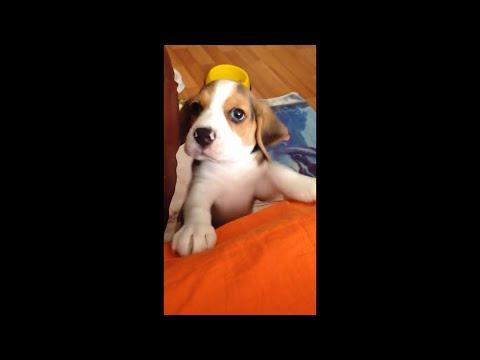 Beagle puppy won't let me sleep at 6 AM