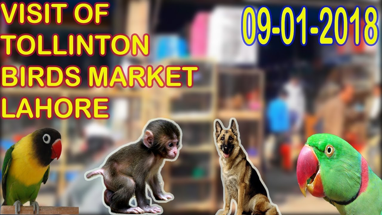 VISIT OF TOLLINTON BIRDS MARKET LAHORE | PRICES ARE LOW | URDU/HINDI