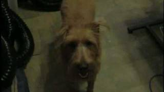 Hoolie Monster (irish Terrier)