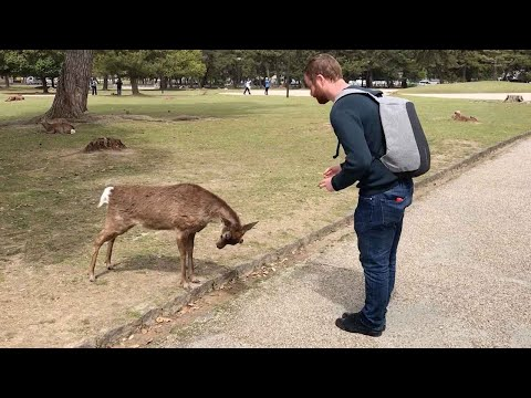 Deer Bows For Food In Japanese Park