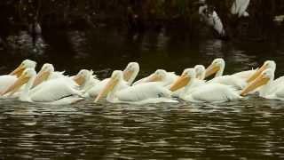 DSC 6216 American White Pelicans Thumbnail