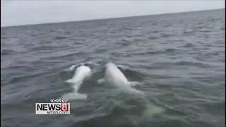 Keep distance from beluga whales spotted in Long Island Sound