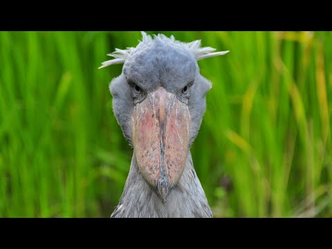 Очень необычная птица с ГОЛОВОЙ КИТА! Китоглав, королевская цапля, ботинкоклюв так кто же он?