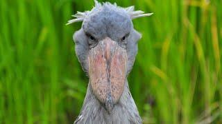Очень необычная птица с ГОЛОВОЙ КИТА! Китоглав, королевская цапля, ботинкоклюв - так кто же он? смотреть онлайн в хорошем качестве - VIDEOOO