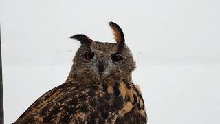 An owl taking a walk in a snowstorm, its ears flapping in the wind epically.