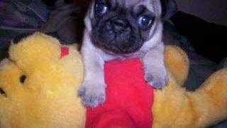 The Pug Puppies Grow Up In Pictures