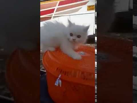 Doll Face Persian Kittens For Sale || Persian Cat for sale in Mumbai