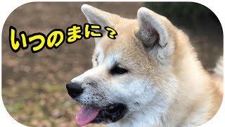 秋田犬と柴とマルチーズ。らんぷとスーちゃんとちゅーぶが遊んでいるリ...