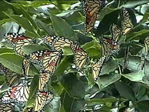 Swarm of migrating Mon...