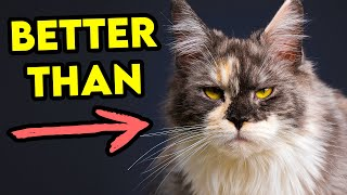 These Cat Breeds Might Be A Better Choice Than Maine Coons!