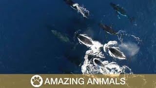 Rare Humpback Whale Heat Run