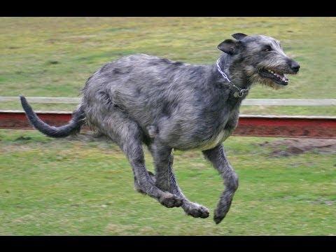 Ирландский волкодав. Все о собаках