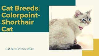 Colorpoint shorthair Slides  Cat Breeds