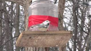 Leucistic (White) Black-Capped Chickadee