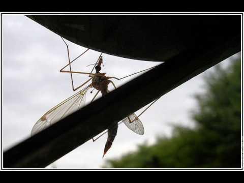 zao moustique