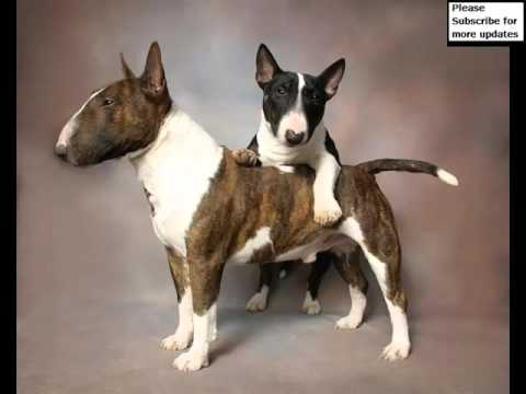 Dog Bull Terrier | Terrier Dog Breed Pictures