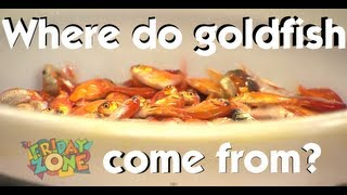 Where do goldfish come from? | The Friday Zone