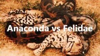 Гигантская Анаконда против кошачьих - Питон против Льва - Анаконда против Кот - Анаконда против