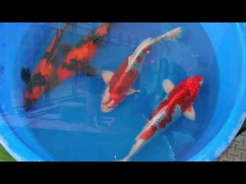 Sacramento Koi's 2007 Japan Buying Trip 2