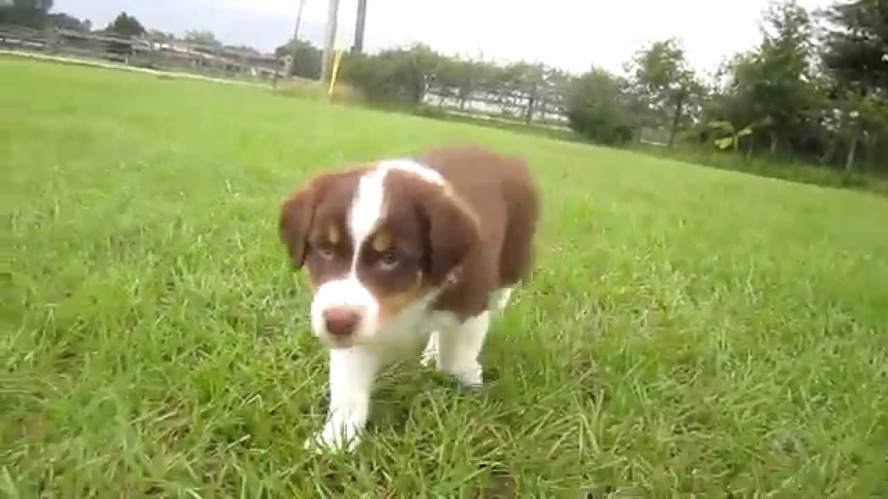 Red Tri Australian Shepherd Puppy You