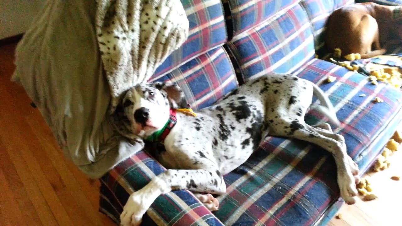 Great Dane Destroys My $5000 Couch - YouTube