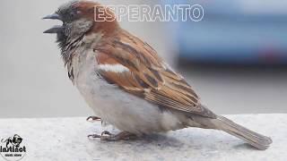 Printempa melankoli – Esperanto music|  Песня – Весенняя тоска |  Music Show 86