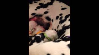 Dalipasha Kennel - Dalmatian Puppies Without Spots