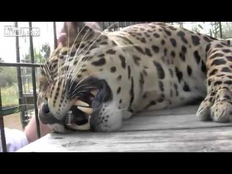 Chilled Out Leopard Likes His Head Scratched