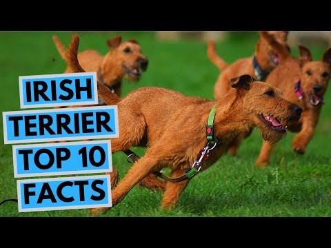 Irish Terrier - TOP 10 Interesting Facts