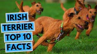 Irish Terrier  TOP 10 Interesting Facts