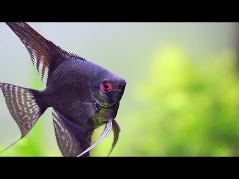 Jenis Jenis Ikan Hias Air Tawar Untuk Aquascape