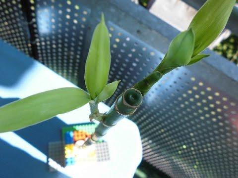 Nikos Bambus Blume Dracaena Braunii Youtube